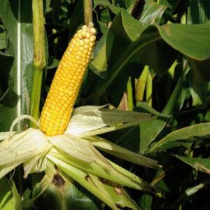Семена кукурузы MAS 40.F