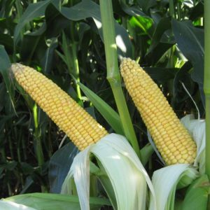 [:ru]Семена кукурузы MAS 53.В[:ua]Насіння кукурудзи MAS 53.В [:]