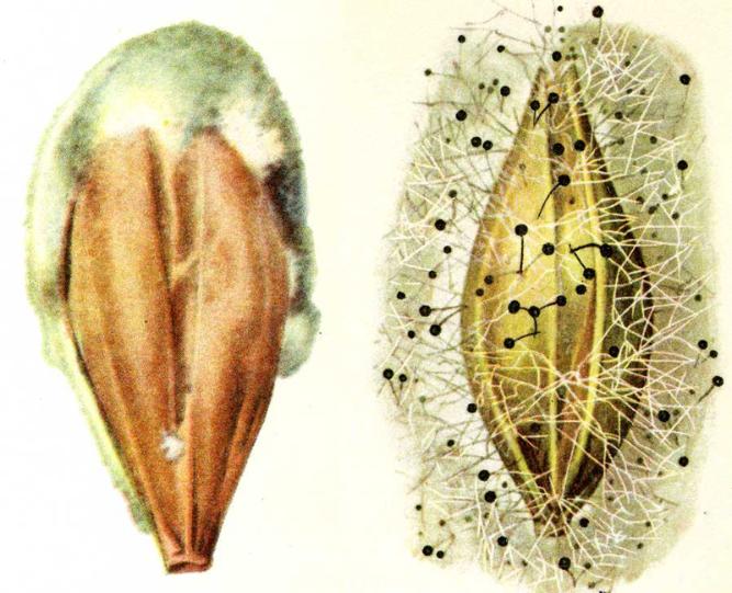 Плесневение семян
