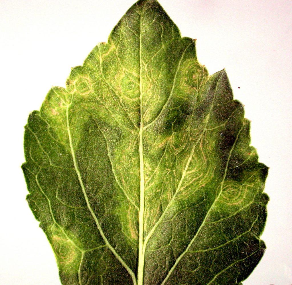 Пятнистость листьев рапса