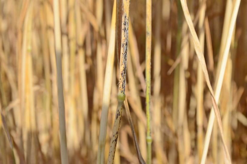 Стеблевая (линейная) ржавчина зерновых