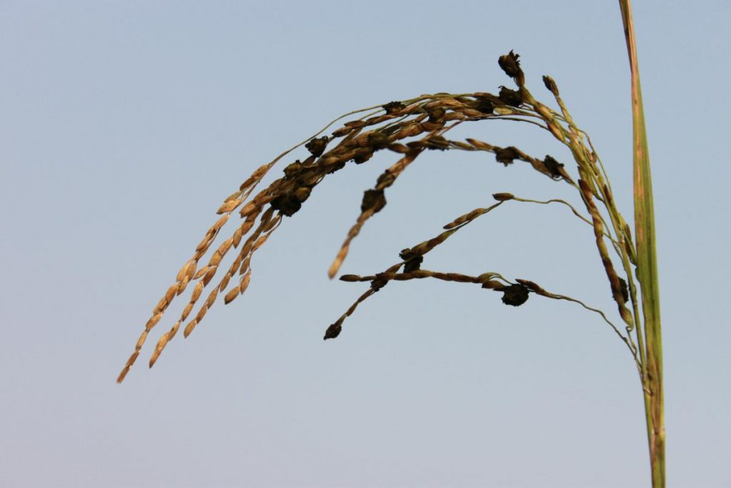 Твердая головня риса