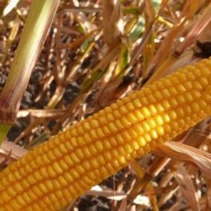 [:ru]Семена кукурузы Амелиор[:ua]Насіння кукурудзи Амеліор[:]