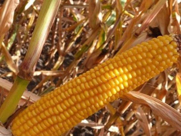 Семена кукурузы Амелиор