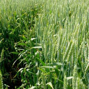 Семена озимой пшеницы Аналог