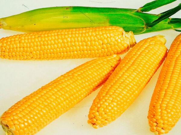 Семена кукурузы Квитневый
