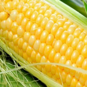 Семена кукурузы Ария