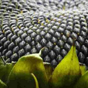 [:ru]Семена подсолнечника Аркансель[:ua]Насіння соняшника Аркансель[:]