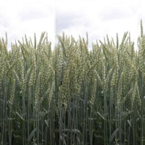[:ru]Семена озимой пшеницы Берегиня Мироновская [:ua]Насіння озимої пшениці  Берегиня Миронівська [:]