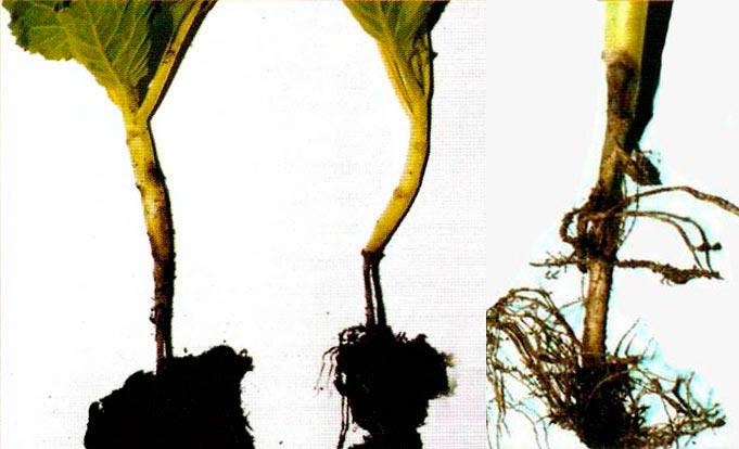 Черная ножка капустной рассады