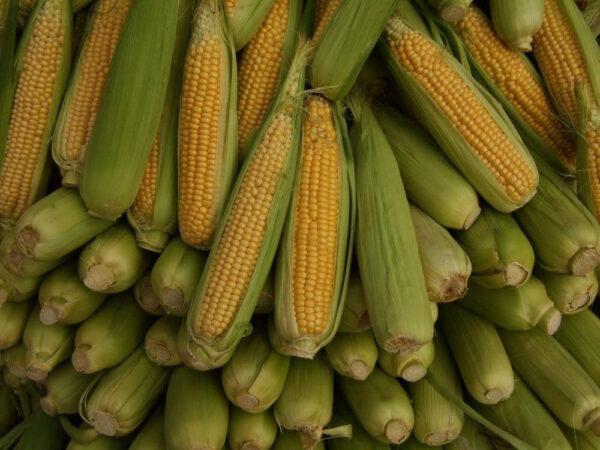 Семена кукурузы ДС1083С