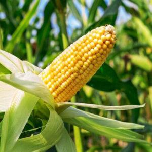 Семена кукурузы Деволви