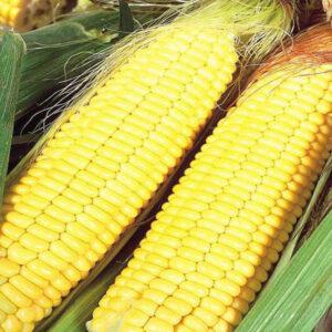 [:ru]Семена кукурузы ДКС 3151 [:ua]Насіння кукурудзи ДКС 3151 [:]