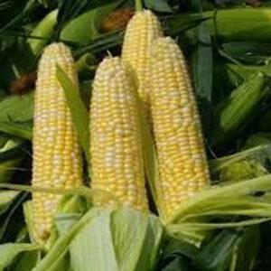 [:ru]Семена кукурузы ДКС 3203 [:ua]Насіння кукурудзи ДКС 3203 [:]