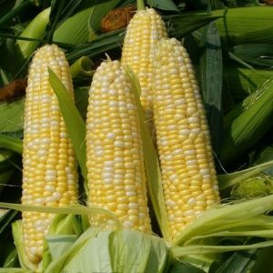 [:ru]Семена кукурузы ДКС 3759 [:ua]Насіння кукурудзи ДКС 3759 [:]