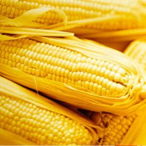 [:ru]Семена кукурузы ДКС 4351[:ua]Насіння кукурудзи ДКС 4351 [:]