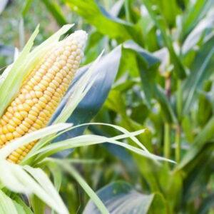 [:ru]Семена кукурузы ДКС 4490[:ua]Насіння кукурудзи ДКС 4490 [:]