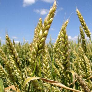 Семена озимой пшеницы Достаток