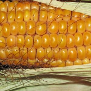 [:ru]Семена кукурузы ДС0306[:ua]Насіння кукурудзи ДС0306[:]