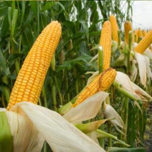 [:ru]Семена кукурузы ДС0336[:ua]Насіння кукурудзи ДС0336[:]