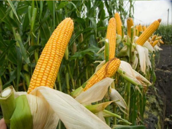 Семена кукурузы ДС0336