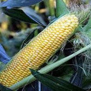 [:ru]Семена кукурузы ДС0479Б[:ua]Насіння кукурудзи ДС0479Б[:]