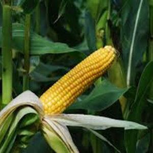 [:ru]Семена кукурузы ДС0493Б[:ua]Насіння кукурудзи ДС0493Б[:]