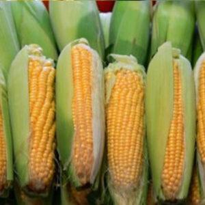 [:ru]Семена кукурузы ДС0918Б[:ua]Насіння кукурудзи ДС0918Б[:]