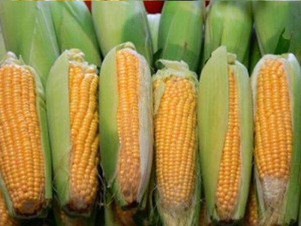 Семена кукурузы ДС0918Б