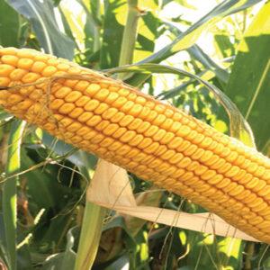 [:ru]Семена кукурузы ДС1071С[:ua]Насіння кукурудзи ДС1071С[:]