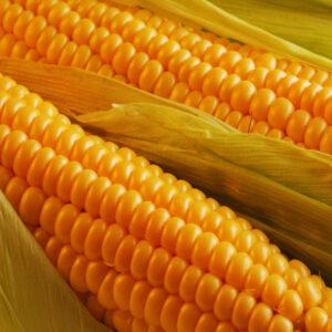 [:ru]Семена кукурузы ДС1157А[:ua]Насіння кукурудзи ДС1157А [:]