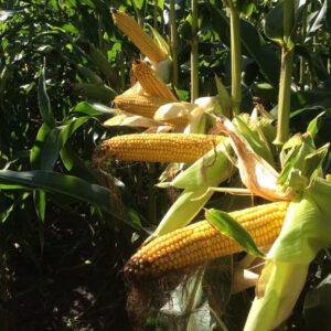 [:ru]Семена кукурузы ДС1522С[:ua]Насіння кукурудзи ДС1522С[:]