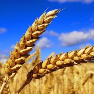 [:ru]Семена озимой пшеницы Экономка [:ua]Насіння озимої пшениці  Економка [:]