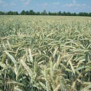 Семена озимой пшеницы Этела