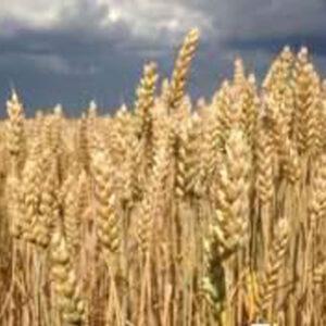 Семена озимой пшеницы Фаворитка