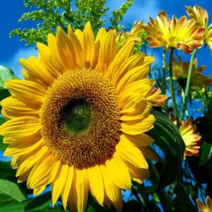 [:ru]Семена подсолнечника НСН12055[:ua]Насіння соняшника НСН12055[:]
