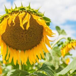 [:ru]Семена подсолнечника Илона КЛ[:ua]Насіння соняшника Ілона КЛ [:]