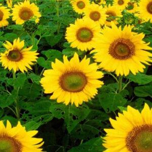 Семена подсолнечника Импакт
