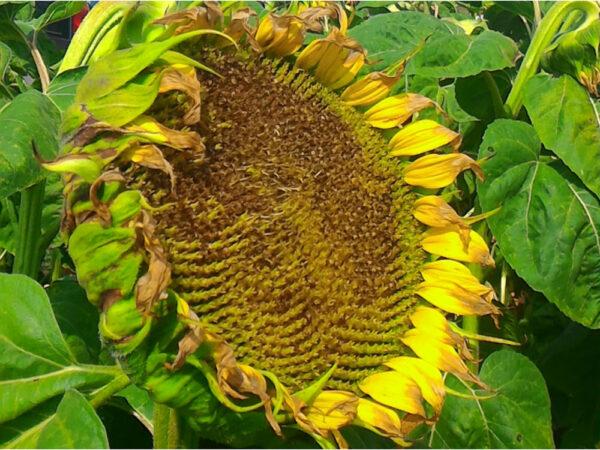 Семена подсолнечника Калибр 2