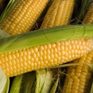 [:ru]Семена кукурузы Кампони КС[:ua]Насіння кукурудзи Кампоні КС [:]