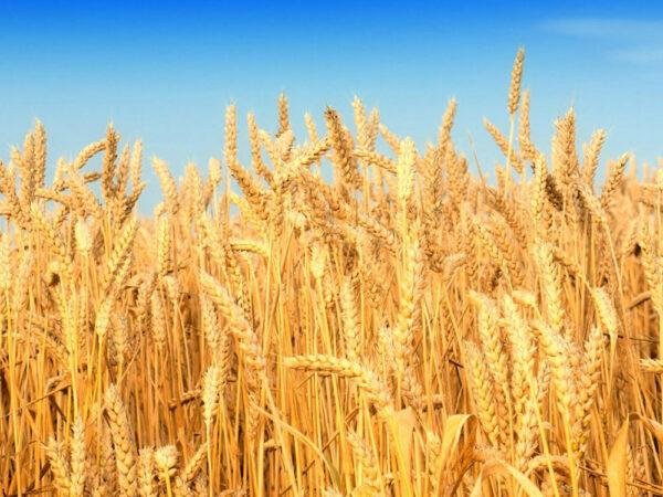 Семена озимой пшеницы Колос Миронивщины