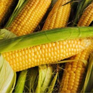 Семена кукурузы Круг