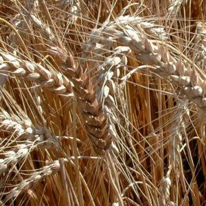 [:ru]Семена озимой пшеницы Легенда Мироновская [:ua]Насіння озимої пшениці  Легенда Миронівська [:]
