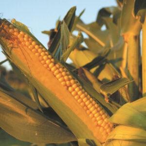 [:ru]Семена кукурузы Mas 14.G[:ua]Насіння кукурудзи Mas 14.G [:]