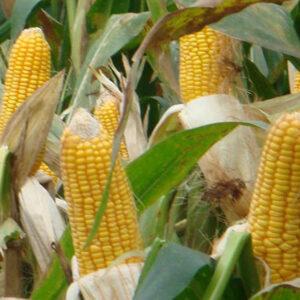 Семена кукурузы Mas 18.L