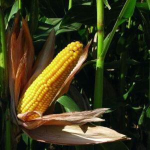 [:ru]Семена кукурузы MAS 20.F[:ua]Насіння кукурудзи MAS 20.F [:]