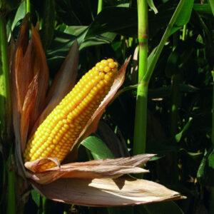 [:ru]Семена кукурузы MAS 30.К[:ua]Насіння кукурудзи MAS 30.К [:]