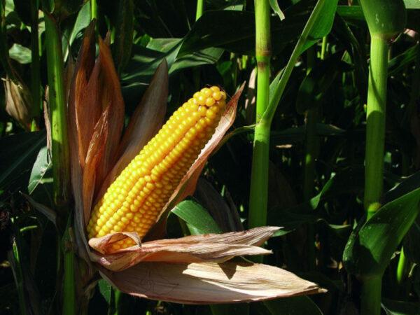 Семена кукурузы MAS 30.К