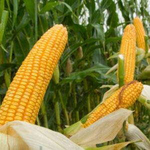 Семена кукурузы МАС 35.К