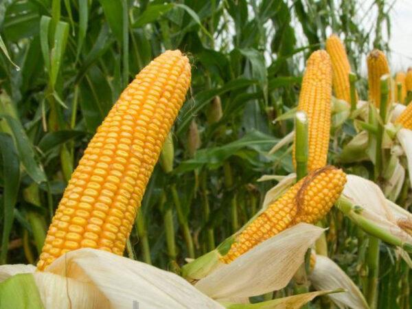 Семена кукурузы MAS 35.К